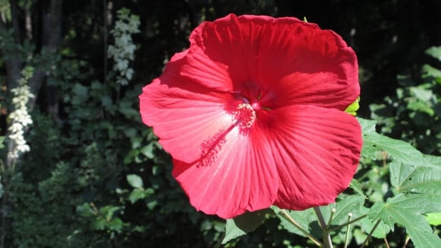A hibiscus flower grows near the entrance of the South Carolina Botanical Garden on Wednesday, July 23, 2014, in Clemson, S.C. The garden is rebuilding after losing thousands of species of plants in a July 2013 flood.