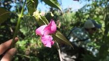 Himalayan balsam seeds