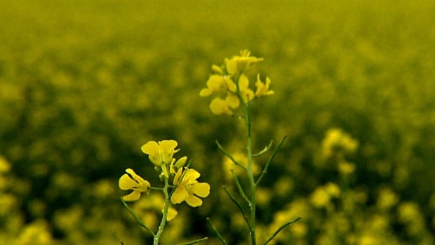 Brown mustard produces a bio-fumigant that can kill wireworms.