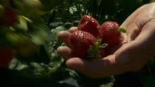 Strawberries Shouldice Farms crop Ottawa July 27, 2014