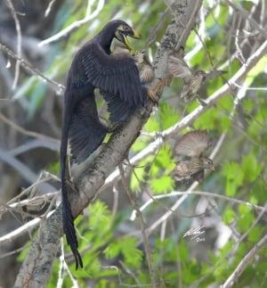 Microraptor attacks primitive birds