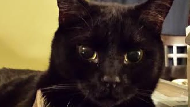 Bronte, the black, seven-year-old cat is missing near the Winnipeg airport.