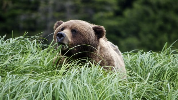 In the summertime, grizzlies make their way down to the shorelines of Khutzeymateen Provincial Park in B.C. to eat sedge grass.