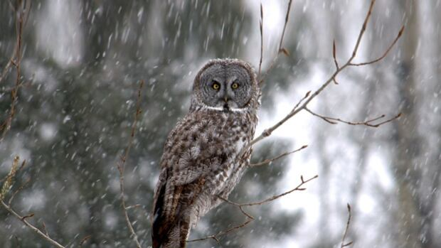 Researchers want to know if owls, like this great grey, are disturbed by industrial noise in northern Alberta.