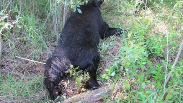 After the hunter shot the bear, it struck back, mauling the man before he finally fired a fatal shot.