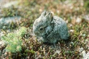 Juvenile Snowshoe Hare