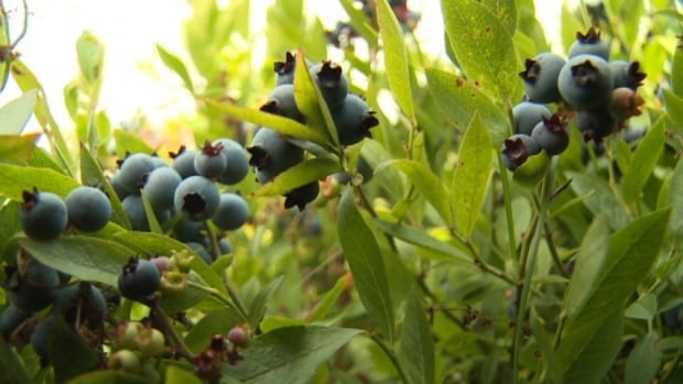 There are approximately 200 blueberry growers on the Island.