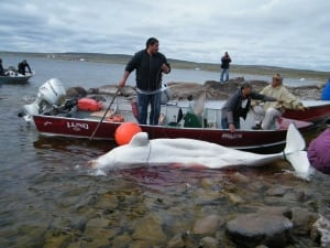 Baker Lake's beluga hunt