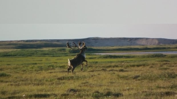 A caribou from the Bluenose caribou herd dances near Paulatuk, N.W.T.
