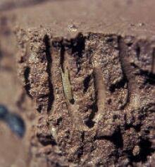 Mud shrimp