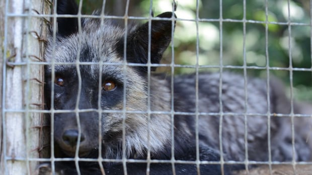 A Quebec fur farmer has pleaded not guilty to animal-cruelty charges relating to 90 foxes, 10,000 mink and two dogs found at a St-Jude facility.