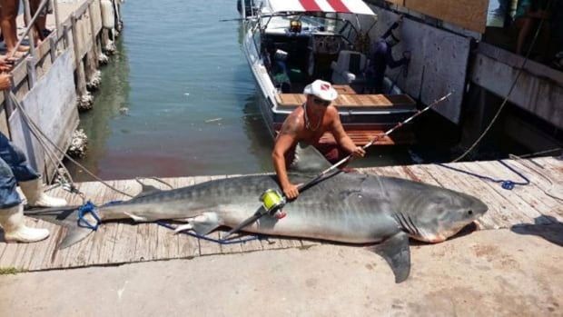 Ryan Spring poses with the tiger shark he donated to charity.