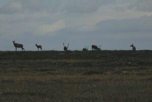 Ukkusiksalik caribou