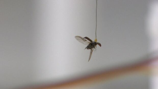 University of Alberta researchers are studying pine beetle flight patterns by gluing tiny tethers to the back of them.