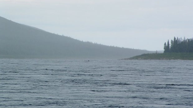 Caribou swim across the George River. The river flows north to Ungava Bay from Lake Jannière, running just west of the Quebec/Labrador border. In the past four years, the George River caribou herd has declined by 80 per cent and there is still no cross-border management plan in place.