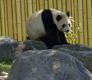 Da Mao at the Toronto Zoo