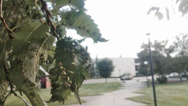 Ugly nest caterpillars in Regina.