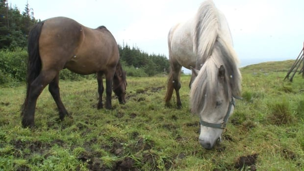 Things are looking up for the Newfoundland Ponies on Change Islands.