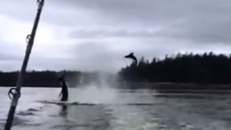 Killer whale tosses sea lion into air