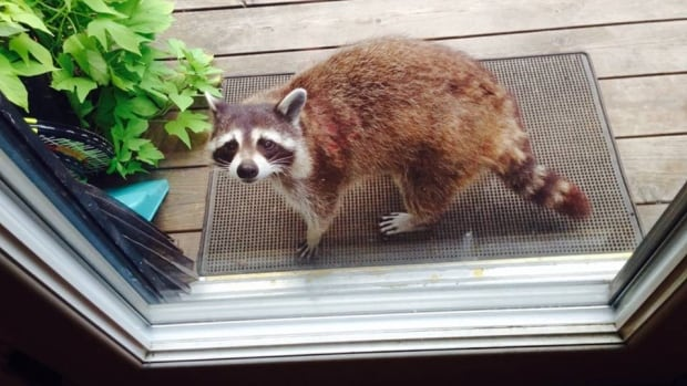 Raccoons and other animals often make their dens and nests in people's homes.