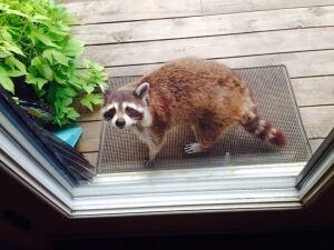 Raccoon mom