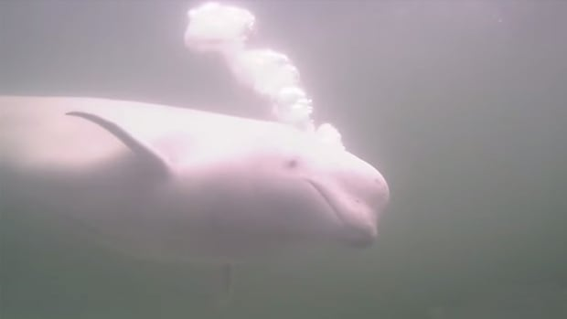 Thousands of beluga whales come to the mouth of the Churchill River each summer and spend much of their time feeding on small fish called capelin.