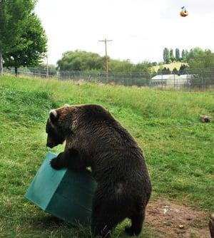 Grizzly bear Kio using tool