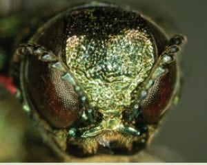 The face of an emerald ash borer
