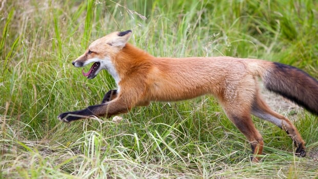 The Yukon Wildlife Preserve has raised the money it needs to build an enclosure for this red fox that was mistaken for a puppy this past spring.