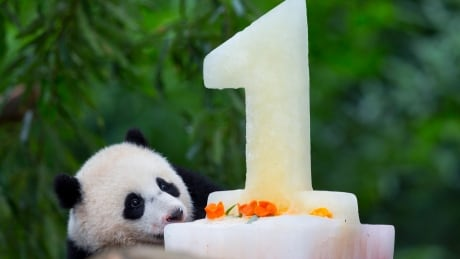 Panda Birthday Bao Bao National Zoo Washington Aug 23 2014