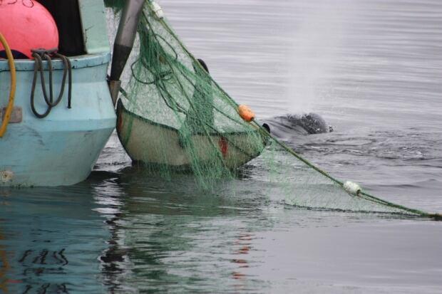 Orca caught in fisherman's net near Port Hardy, B.C. - Aug. 21, 2014