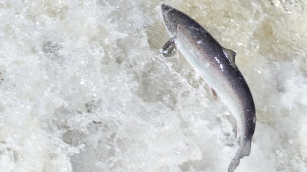 The Atlantic Salmon Federation says one way to decrease the harvest by Greenland would be to negotiate a private agreement.