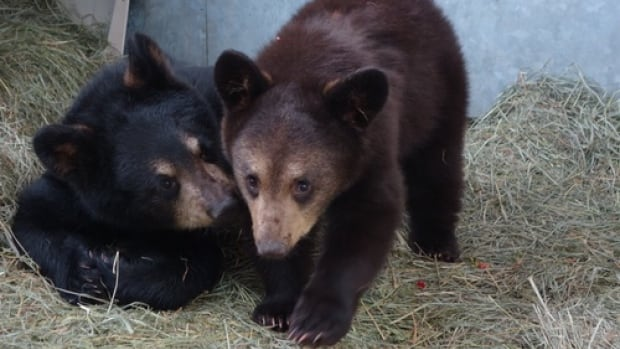 Aug. 26: Orphaned black bear cubs from the Yukon have arrived at the Calgary Zoo and will be joining the zoo's white black bear Manuka after they are released from quarantine.