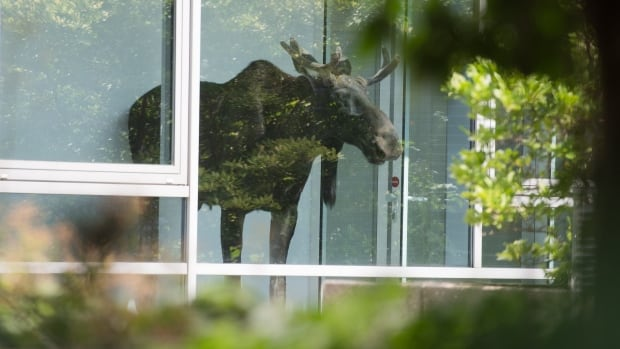 A young moose walked into an office building in Dresden, Germany, Monday and got stuck behind a glass door.