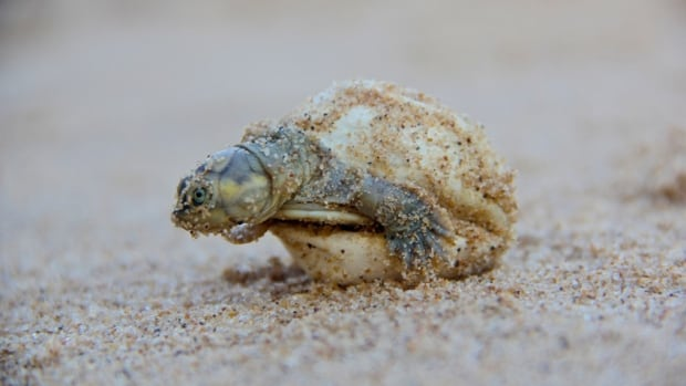 A giant South American river turtle hatchling emerges from its shell.