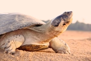 Adult Giant South American River Turtle