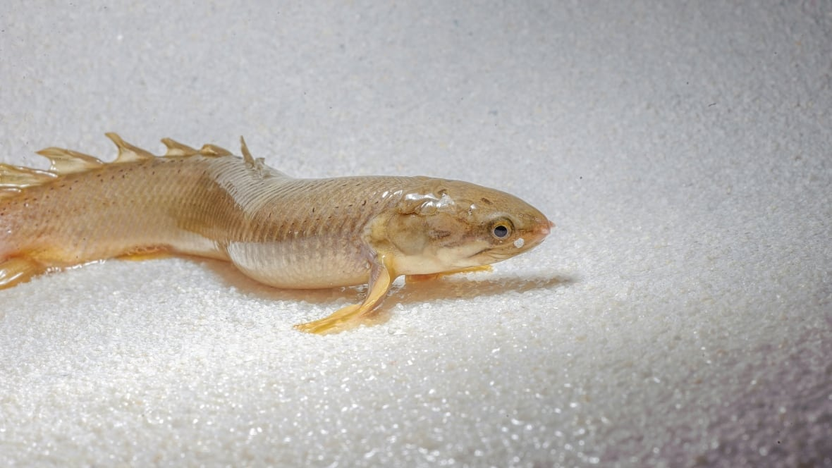 Walking bichir fish may reveal how vertebrates moved onto for Fish that walk on land