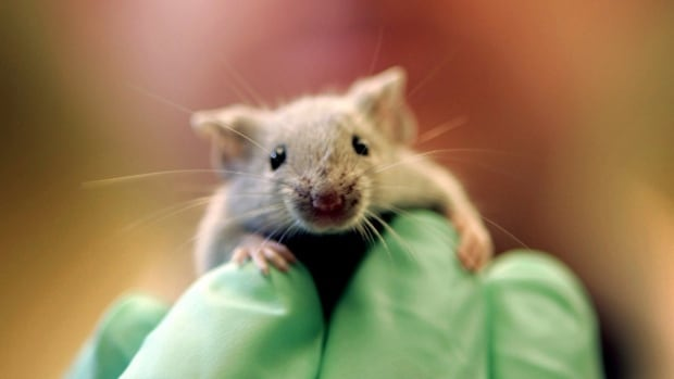 A laboratory mouse climbs on the gloved hand of a technician at the Jackson Laboratory, in Bar Harbor, Maine. Many people oppose cosmetic testing on animals, but what about testing cancer drugs? Or other pharmaceuticals?
