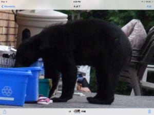 sudbury bear 2