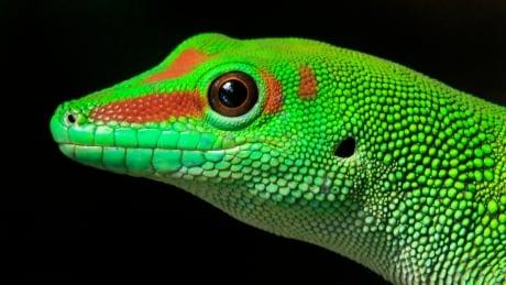 Russia space sex geckos
