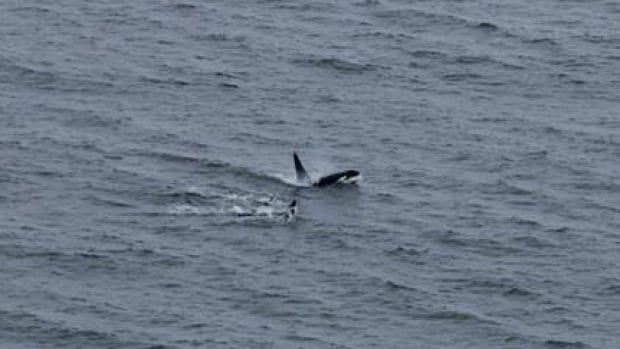 An uncommon occurrence in Churchill, a pod of killer whales was seen moving through the Southern Hudson Bay Tuesday.