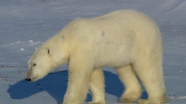The politics of polar bears