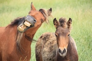 Sable Island wild horse smiling