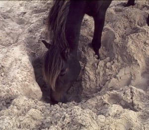 Horse digging for water on Sable Island