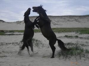 Sable Island horses