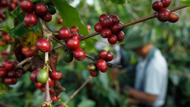 Caffeine developed separately in coffee, tea and chocolate because it is in different genes in different areas of plants' genomes. In coffee, it became a genetic advantage:  bugs don't like the caffeine found in the leaves of coffee plants but pollinators do