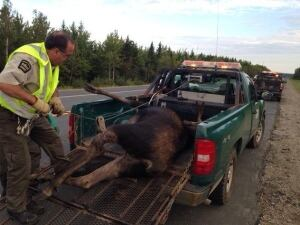 moose accident