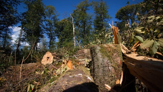 Stumps and branches of trees that were recently cut down by workers hired by Kinder Morgan are seen in the Burnaby Mountain Conservation Area, in Burnaby, B.C., on Wednesday September 10, 2014.