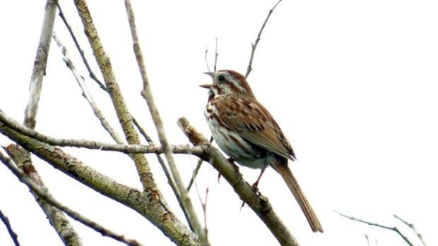 Song sparrows are among the many birds making their way back to New Brunswick ahead of schedule this year.