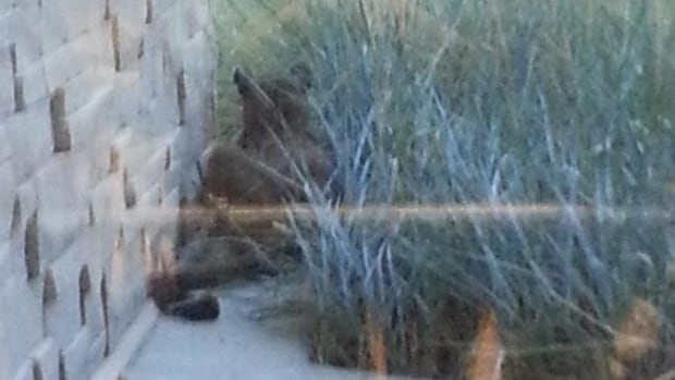 A cougar that wandered into the parkade at the South Health Campus hospital in Calgary later went outside and curled up next to the hospital.